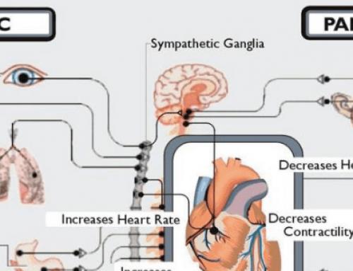 Autonoom zenuwstelsel centraal bij vitaliteit