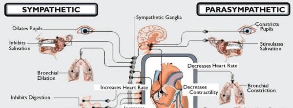autonoom zenuwstelsel en vitaliteit